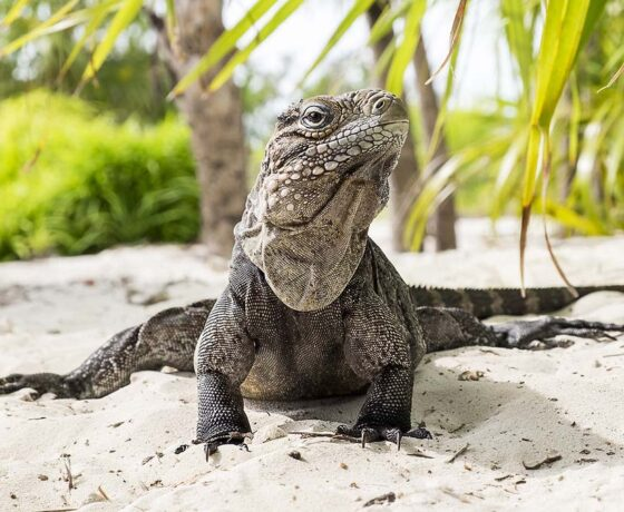 iguana cayo rico